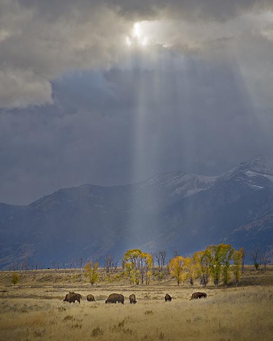 bison beams2