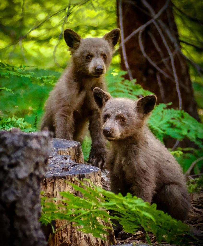 cubs-11x14