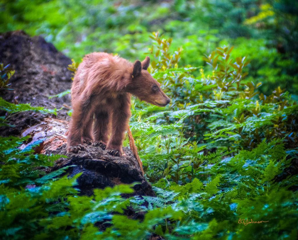 male-bear