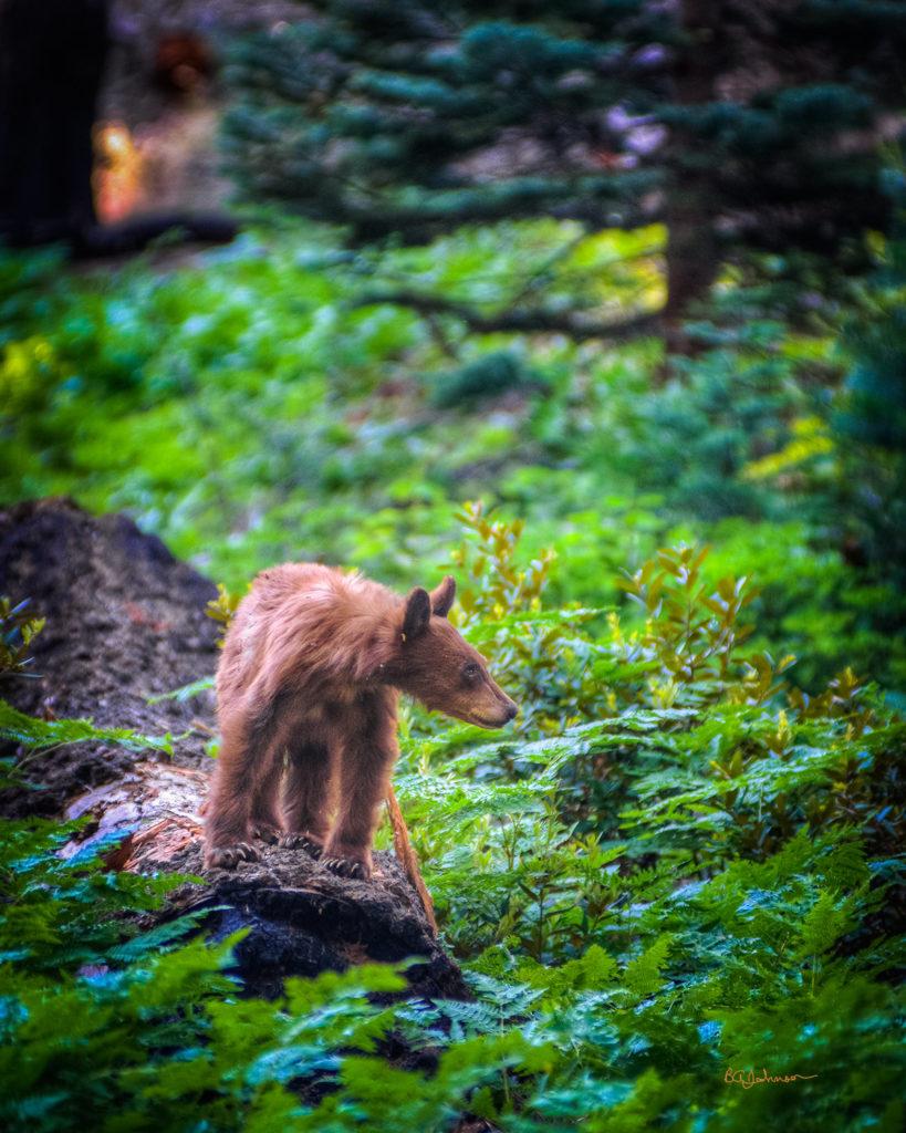 male-bear-final