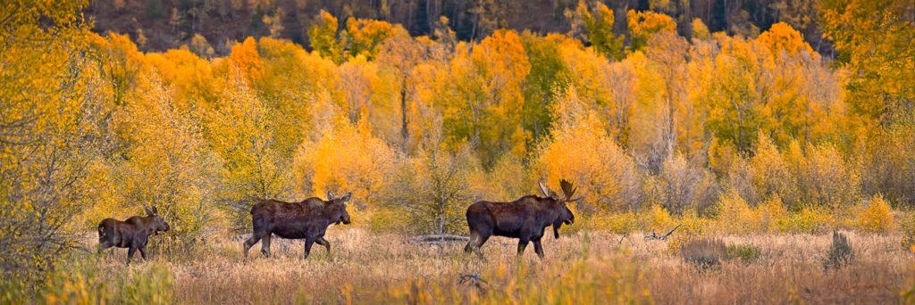 moose-family36